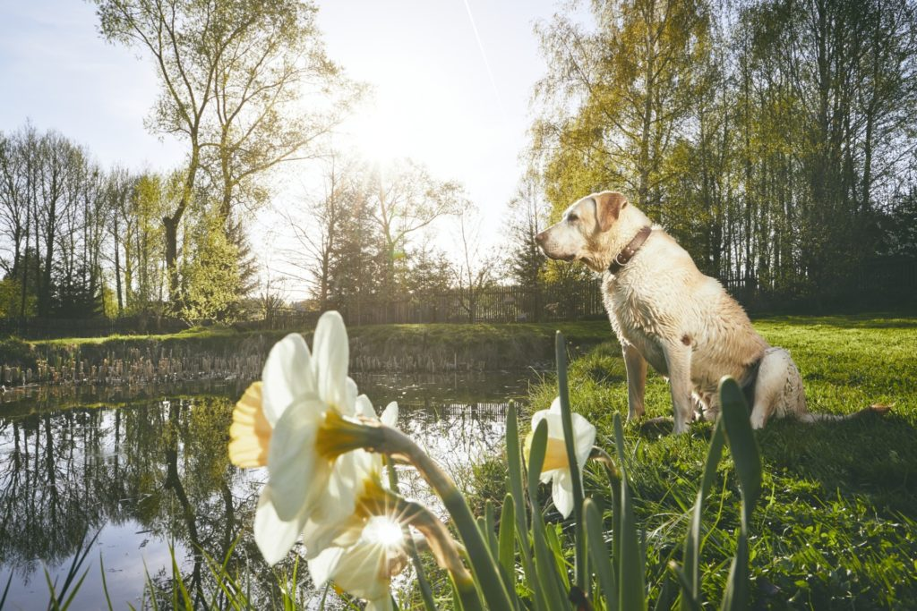 labrador in spring nature PY8ZBED
